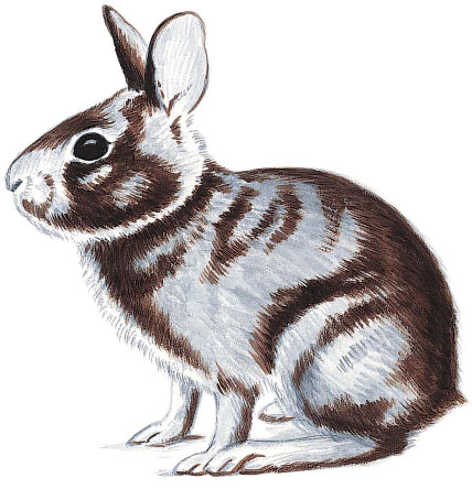 Drawn rabbit cottontail rabbit  View) 50 29: Paint