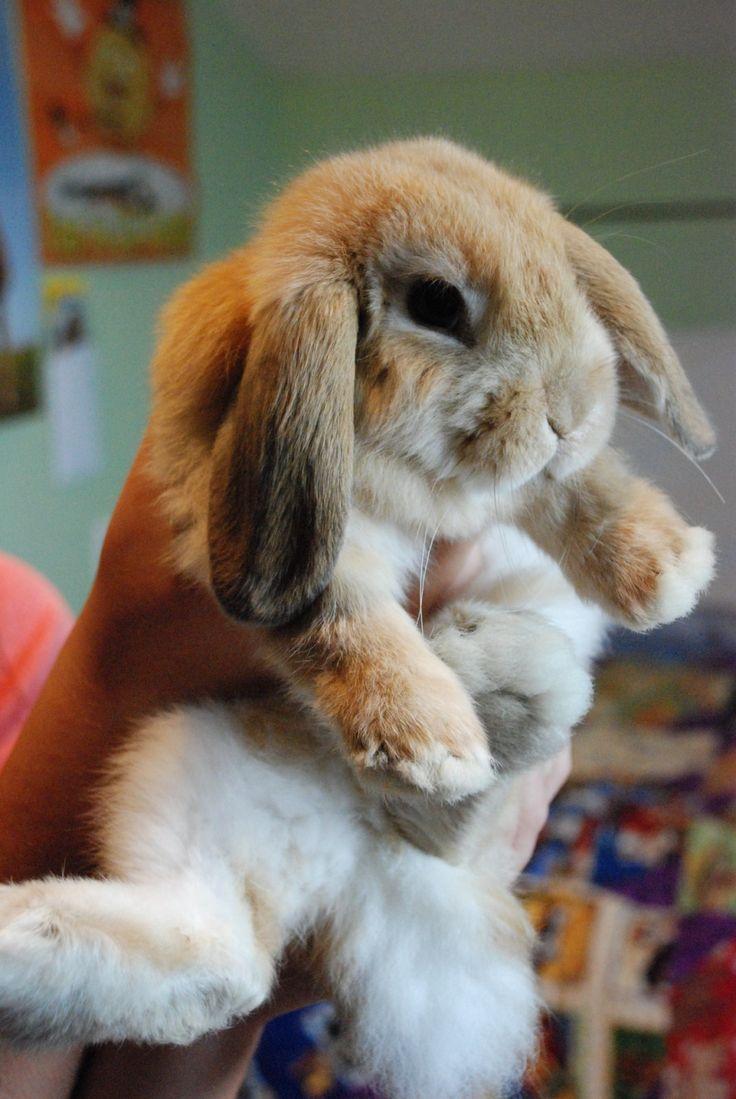 Drawn rabbit floppy eared bunny The on bunnies like 25+