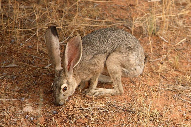 Drawn rabbit grassland animal Described Coastal Prairie Prairies hilltops