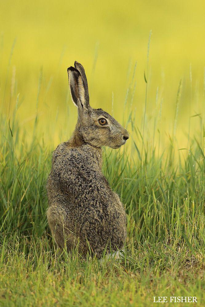 Drawn rabbit grassland animal On Rabbits Rabbits 440 and