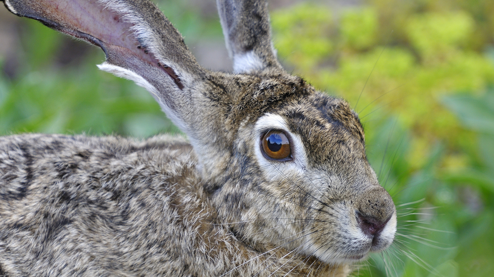 Drawn rabbit grassland animal Jackrabbit Black  Tailed
