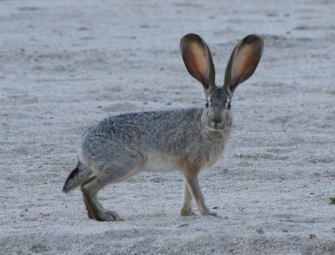 Drawn rabbit grassland animal Jackrabbit Wikipedia Black  tailed