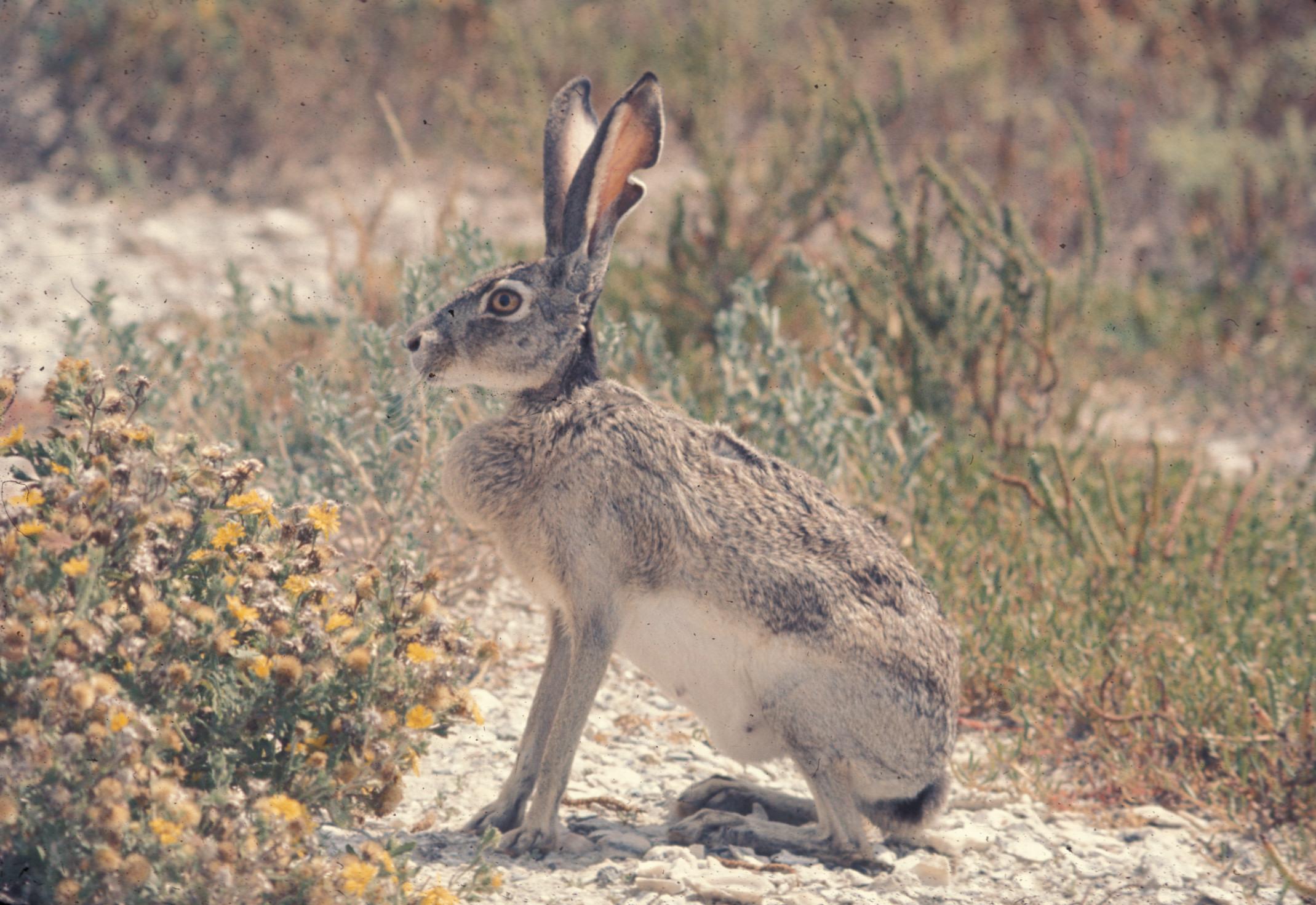 Drawn rabbit grassland animal Transitional Fossil: 2009 A Notes