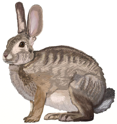 Drawn rabbit hare To to by Step a