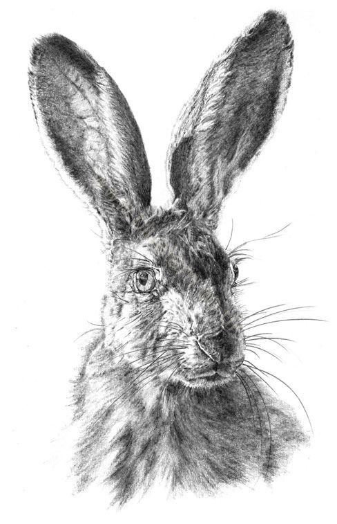 Drawn rabbid hare On pencil Hare Coleman 115