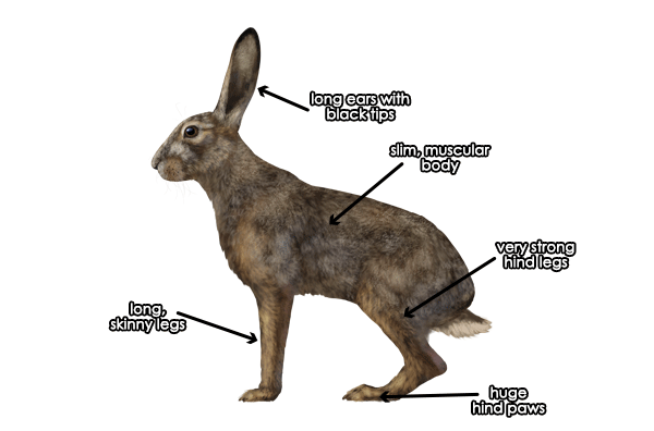 Drawn rabbit hare Between And Difference and photo#9