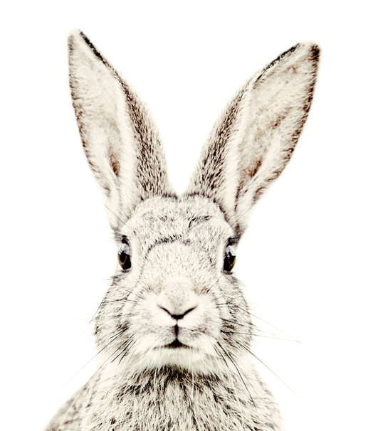 Drawn rabbit head … Pinteres… wallpaper Rabbit magnet