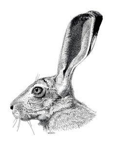 Drawn rabbit ink > Jackrabbit Pics Drawing Bunnies