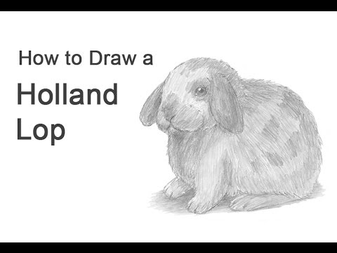 Drawn rabbid lop rabbit  to Lop Holland How