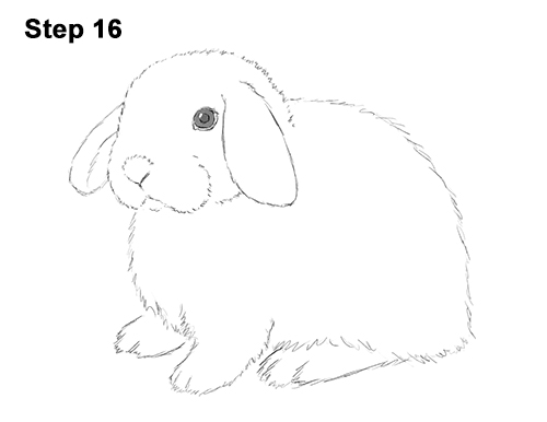 Drawn rabbit lop rabbit Holland Rabbit Holland Bunny Draw