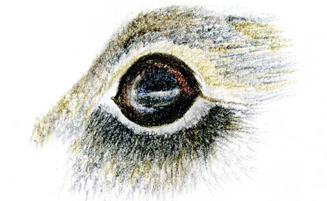 Drawn rabbit rabbit eye Three Study Rabbit study Rabbit