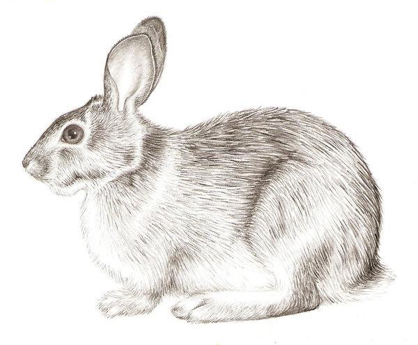 Drawn rabbid realistic Realistic Draw photo#2 A Rabbit