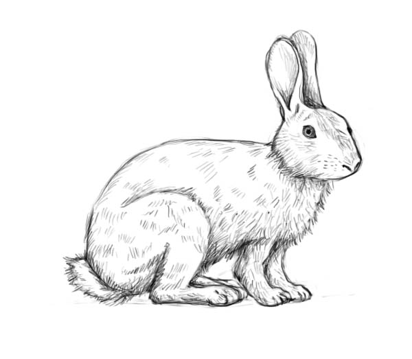 Drawn rabbit sketch Rabbit drawing the to to