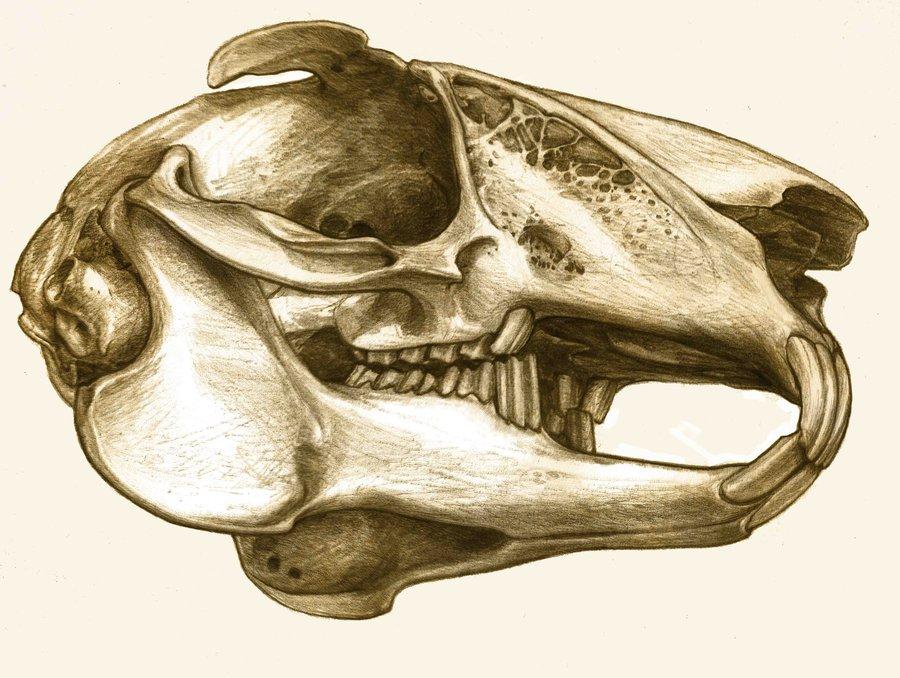 Drawn rabbid skull Photo#11 Rabbit anatomy Rabbit Anatomy