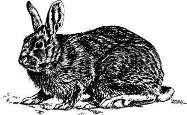 Drawn rabbit wild rabbit  rabbit floridanus and Sylvilagus