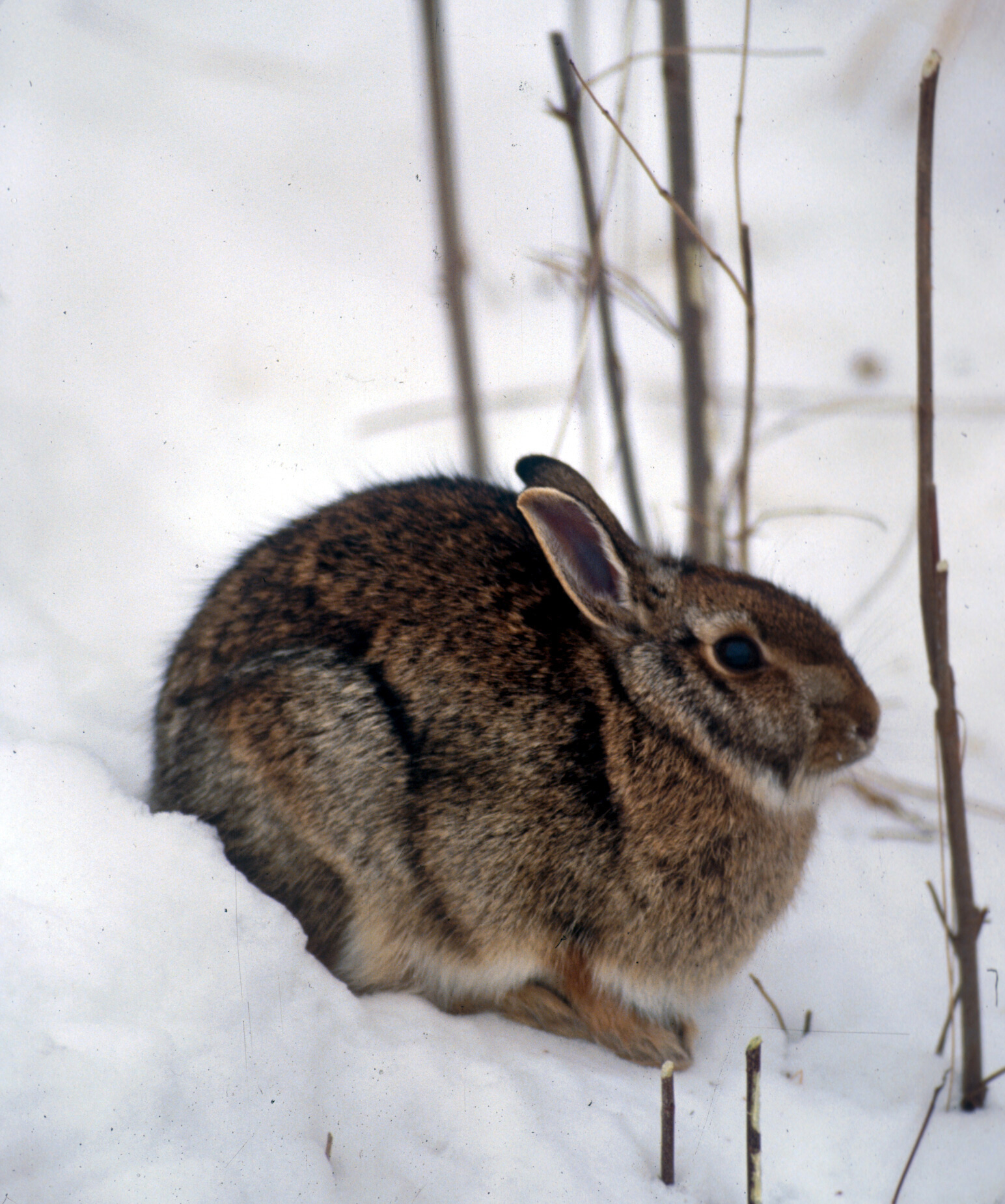 Drawn rabbit wild rabbit Rabbit Rabbit eastern Eastern cottontail