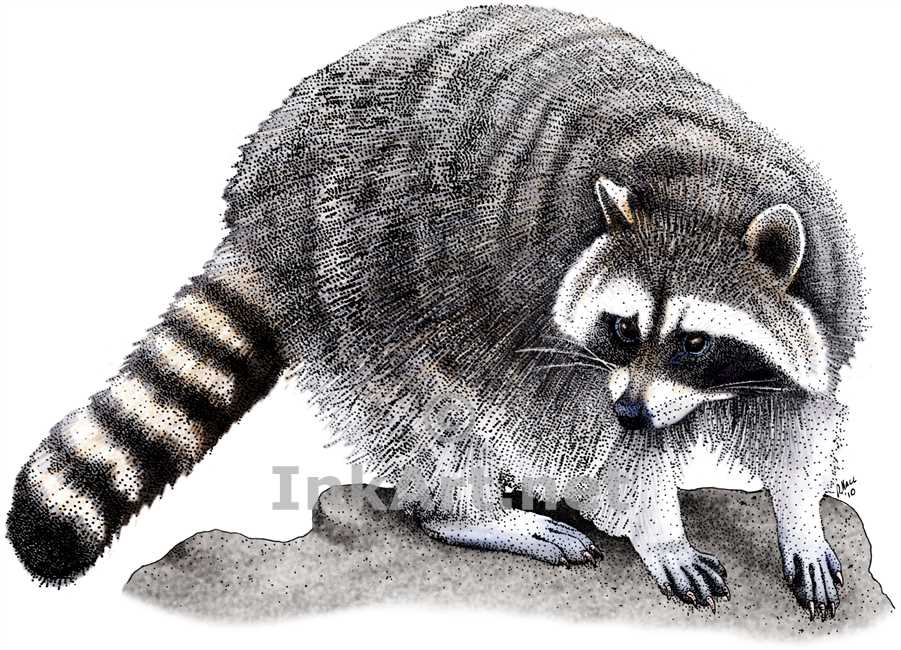 Drawn raccoon Drawing a Color of Drawing