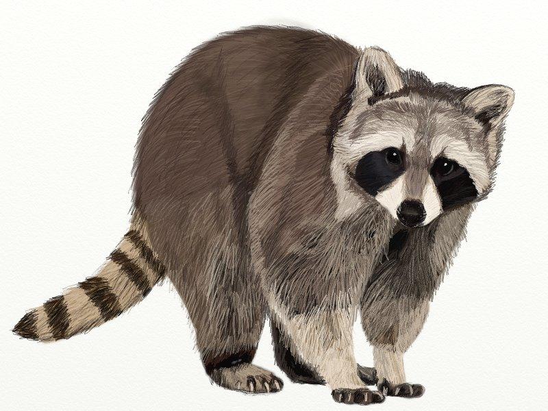 Drawn raccoon To step Draw by step