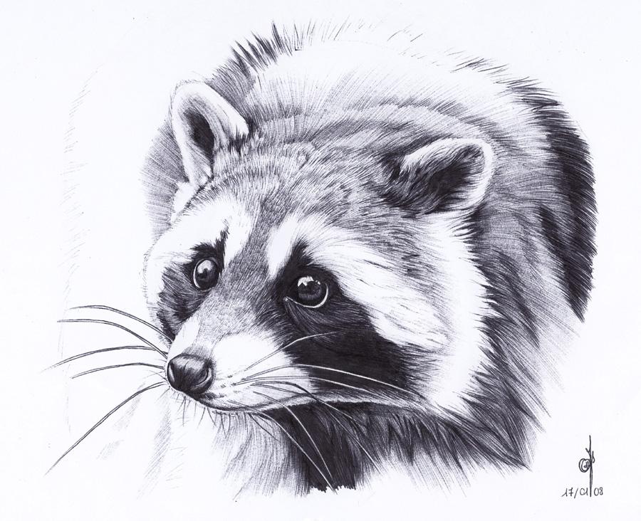 Drawn racoon ~Maiwenn  deviantART on on