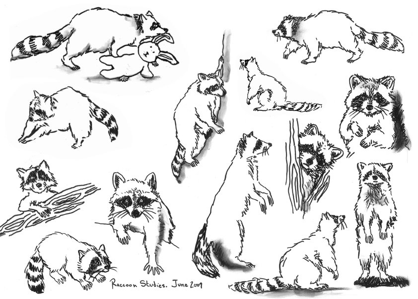 Drawn raccoon Sketches The : Blog ~