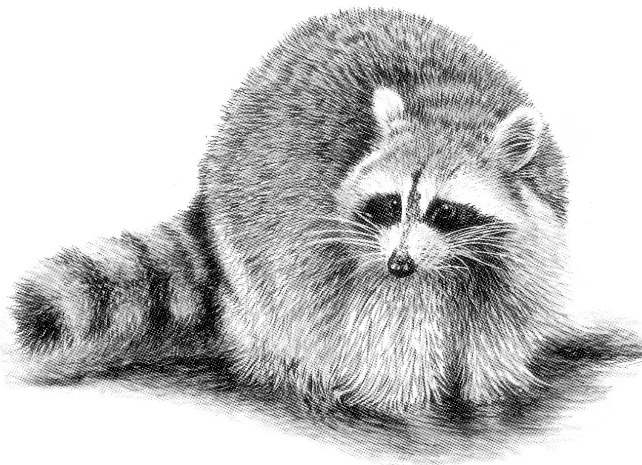 Drawn raccoon Drawing Is Book: Thesis My
