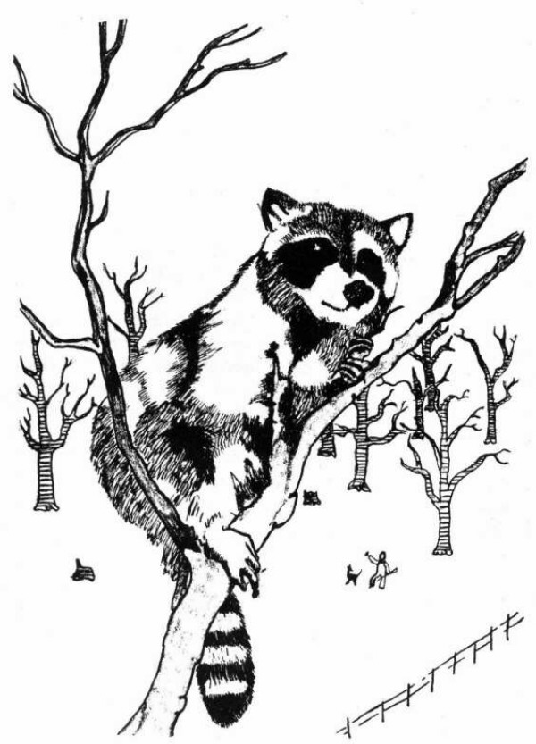 Drawn raccoon coon hunting Chance Springfield Library story wondered