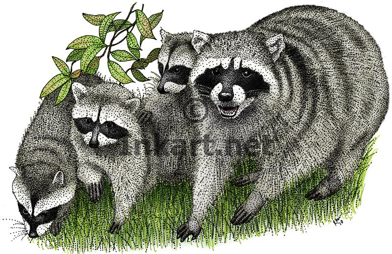 Drawn raccoon pen and ink Art Art raccoons color illustration