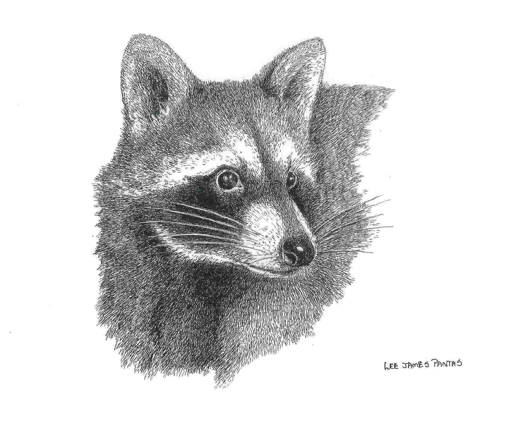 Drawn raccoon pen and ink Raccoon animals