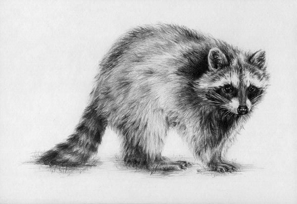 Drawn raccoon realistic Drawing Raccoon Raccoon by Raccoon