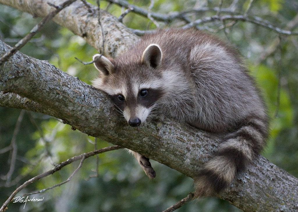 Drawn racoon baby raccoon Raccoon Baby on DGAnder by
