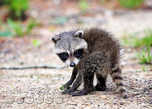 Drawn racoon baby raccoon Best 21 on images Raccoon