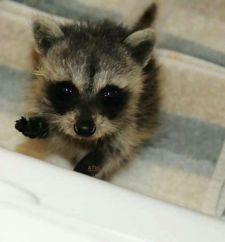 Drawn racoon baby raccoon Hmm pet? on best Pinterest