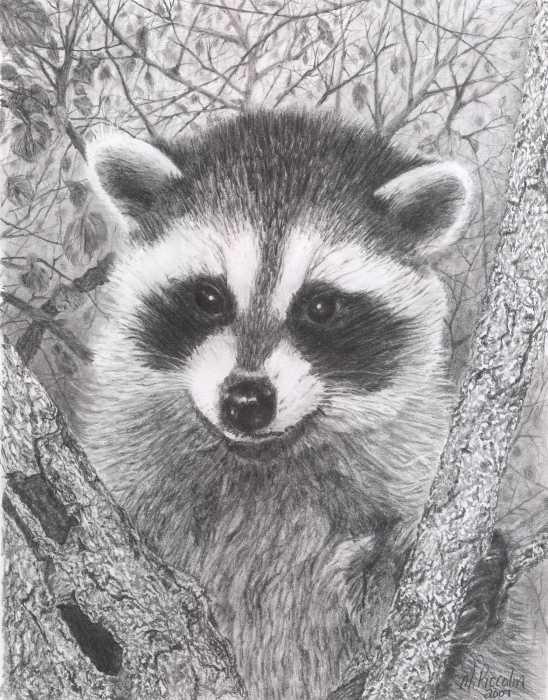 Drawn raccoon draw a Kit Raccoon