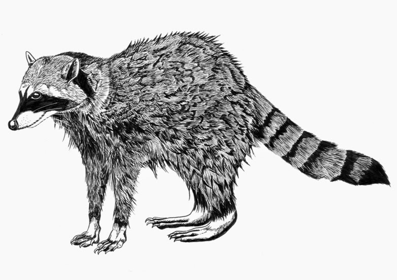 Drawn racoon black and white Very tip a illustration drawn