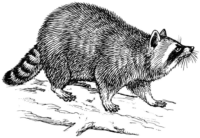 Drawn racoon clipart Raccoon Art Clip Raccoon Drawing