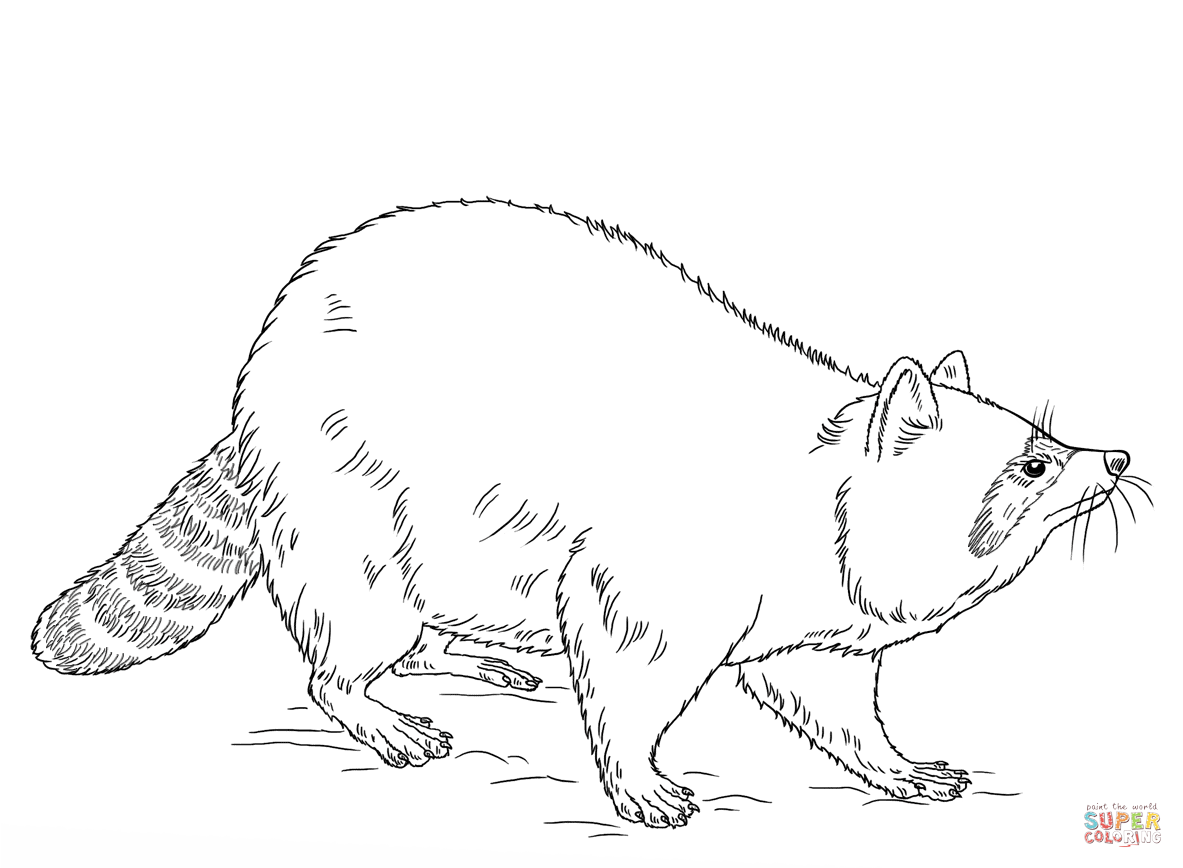 Drawn racoon color Coloring Pages Free coloring Raccoon