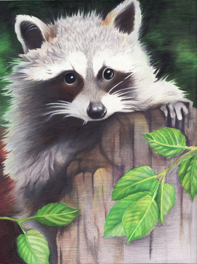 Drawn racoon color Leave Racoon and raccoon drawing