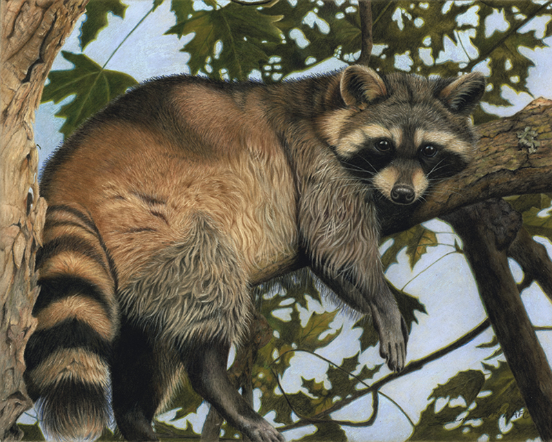 Drawn racoon color Gemma Gylling I drawing by
