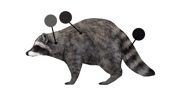 Drawn racoon color Pandas and Red How Raccoons