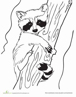 Drawn racoon color RACCOONS DRAWINGS PAINTINGS RACCOONS 275