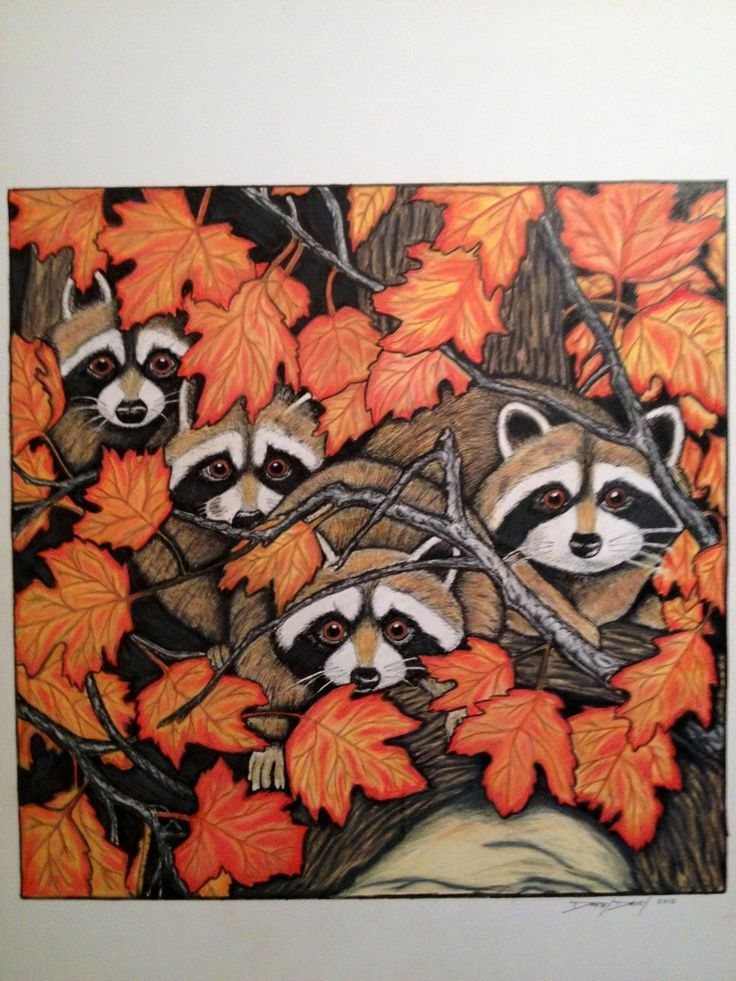 Drawn racoon color Colored pencil best in images