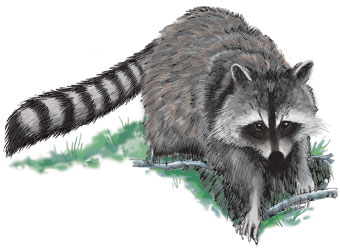Drawn racoon coon hunting License Study Guide Raccoon Hunting