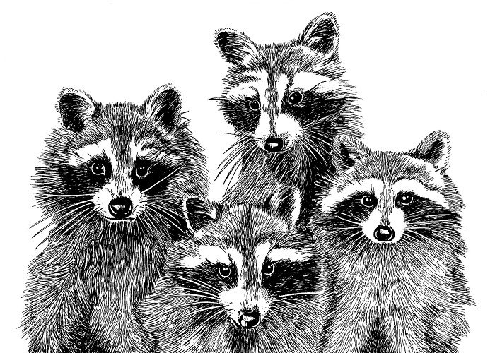 Drawn racoon draw a And print Art Ink singing