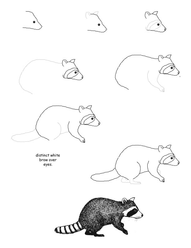 Drawn racoon draw a Step by נופר to נופר