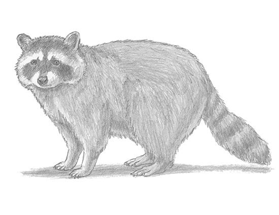 Drawn raccoon realistic Q Draw  How Raccoon