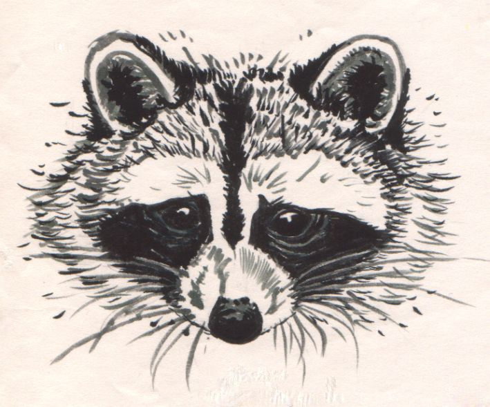 Drawn raccoon face RACCOONS RACCOONS images OF 275