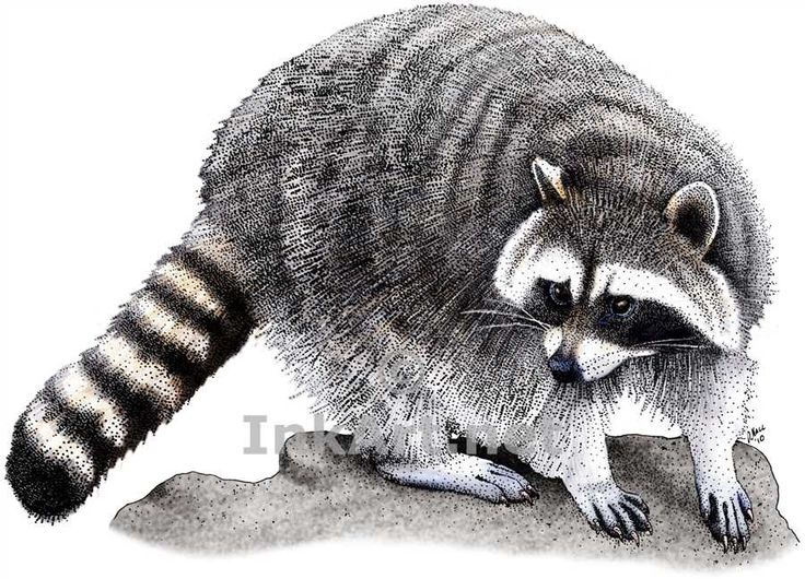 Drawn raccoon sketch Northern Art drawing Pinterest Drawing