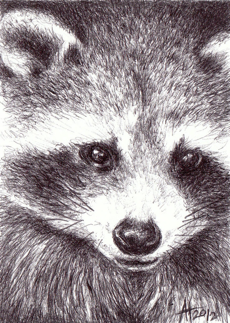 Drawn racoon pen and ink  Pinterest Beware The !