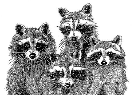 Drawn racoon pen and ink On Find Nice and racoons