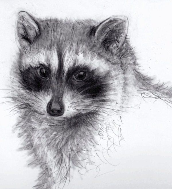 Drawn racoon pencil On DRAWINGS DRAWINGS Pin 275